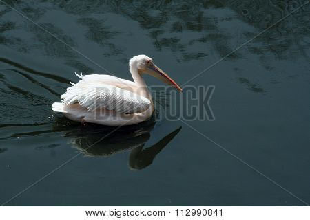 White Pelican. Bird Pelican floats in the water.