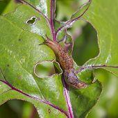 Crop Pest Slug (Slug). Slug eats the leaves of beet (Beta) poster