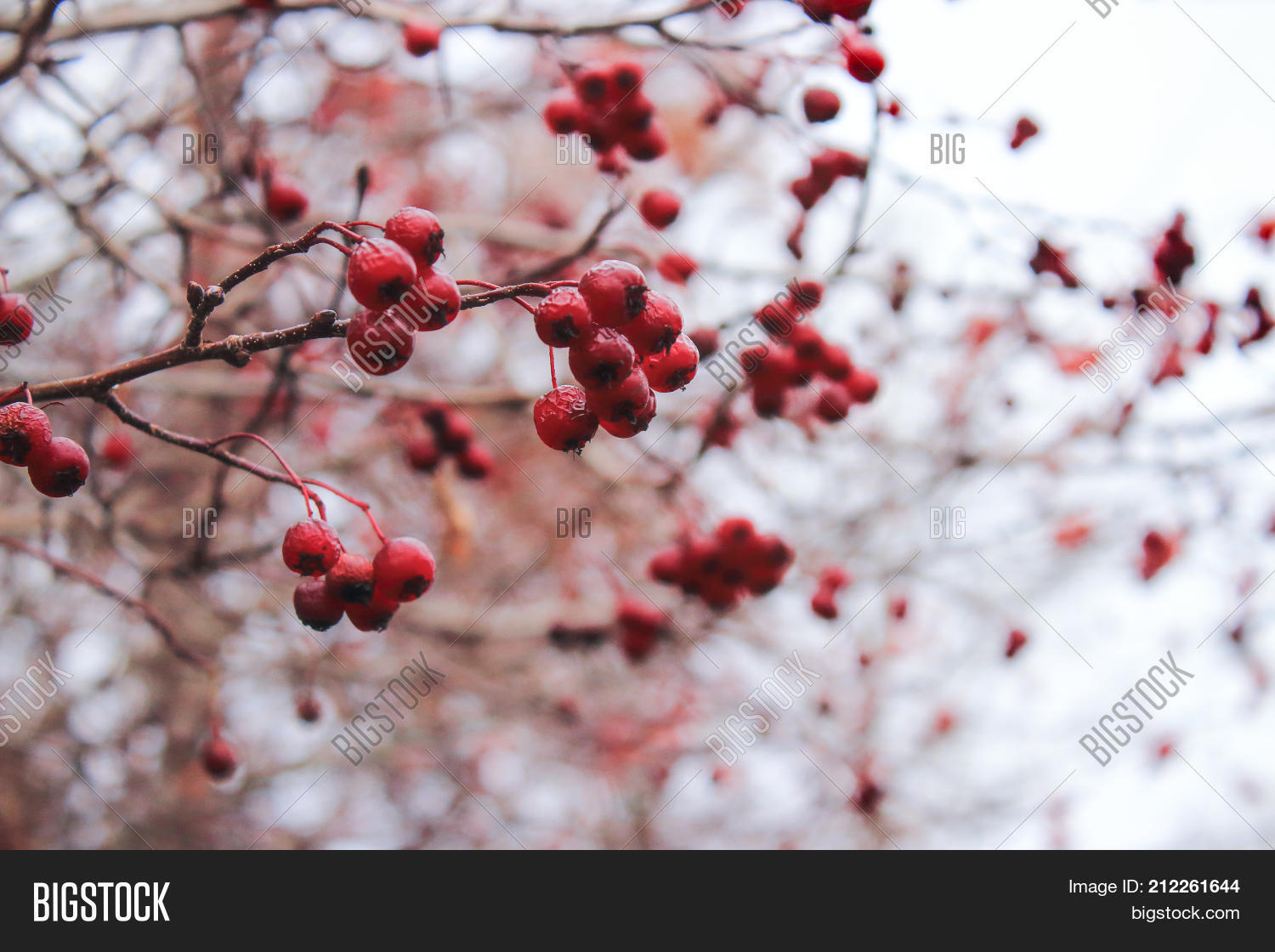 Hawthorn Berries Image Photo Free Trial Bigstock