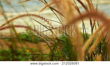 Grass ear spikes at the sunset. Spikelets are flying in the wind against the sun at sunset.
