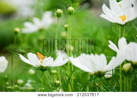 White cosmos or Sonata white or cosmos bipinnatus with tiny yellow butterfly in the park among a beautiful day in blur background