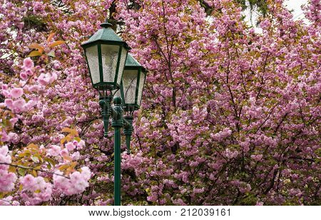 Old Green Lantern Among Cherry Blossom