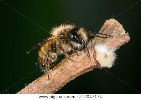 Osmia rufa comon name solitary mason bee pollinator poster
