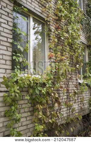 Girlish grapes (Parthenocissus quinquefolia) beautifully decorate the brick wall of the building in the autumn cloudy day.