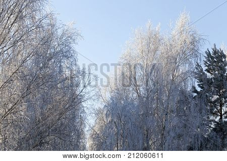 part of deciduous trees in the frost are lit by sunlight, the second part of the forest is in the shade, the winter landscape