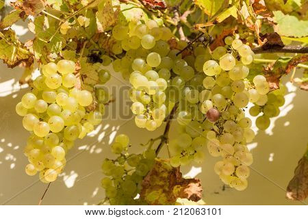 Bunch of grapes on vine stock in a garden