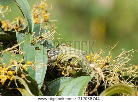 Blackpoll Warbler 03