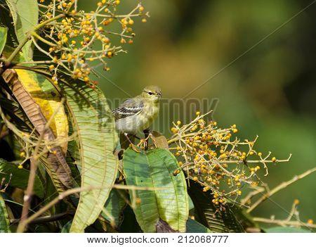 Blackpoll Warbler 06