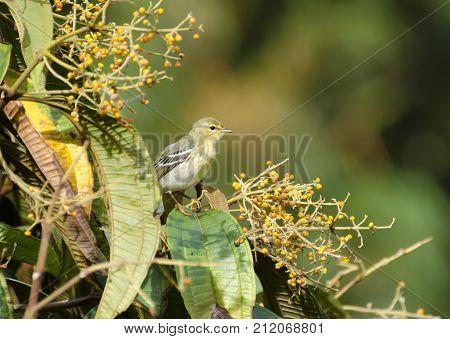 Blackpoll Warbler 09
