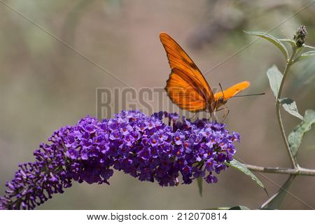 Incredible Julia Or Dryas Iulia Butterfly on an amazing stem of butterfly Bush or summer lilac.