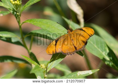 Beautiful Julia Butterfly with wings unfurled on a green plant.