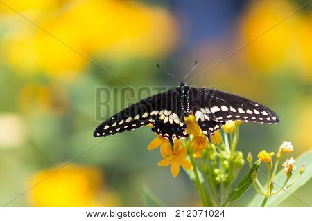 Magnificent Black Swallowtail or Papilio polyxenes Butterfly with wings unfurled on a grouping of orange flowers.