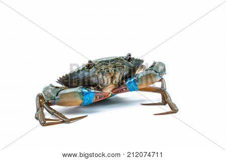 Scylla serrata. Fresh crabs are tied claws with blue plastic ropes isolated on white background. Raw materials for seafood restaurants concept.