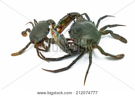 Scylla serrata. Big crab use the claw to fight small crab isolated on white background. Raw materials for seafood restaurants concept.