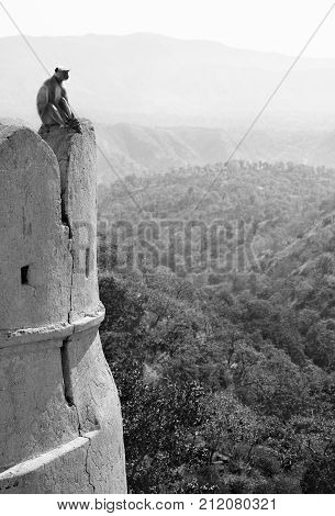 Indian monkey langur on the wall of ancient Kumbhalgarh Fort in Rajastan