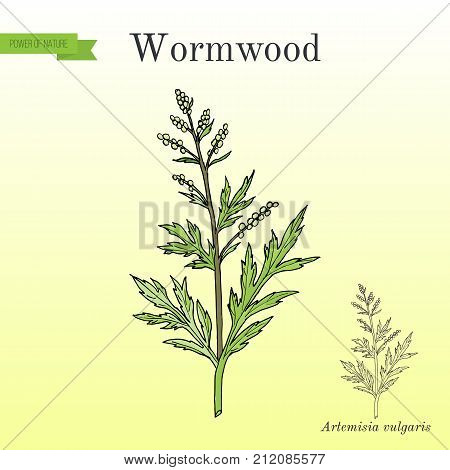 Mugwort, or common wormwood Artemisia vulgaris , medicinal plant. Hand drawn botanical vector illustration