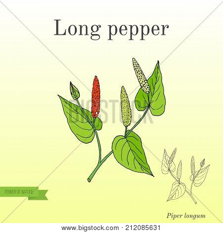 Ayurvedic plant Long pepper Piper longum , pippali. Hand drawn botanical vector illustration