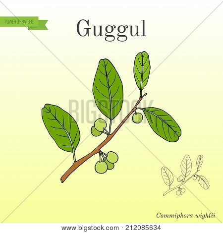 Best Ayurvedic plant guggul Commiphora wightii , or Indian bdellium-tree, Mukul myrrh tree. Hand drawn botanical vector illustration