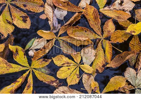 Colored chesnut leafs in the water in autumn.