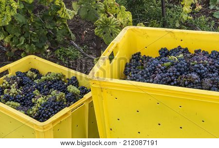 Harvest of Pinot Noir grapes in the Champagne region. Grapes in yellow crates in the vineyard.