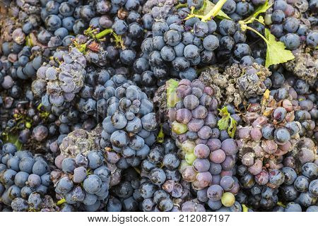 Harvest of Pinot Noir grapes with little bit of mold in the Champagne region France