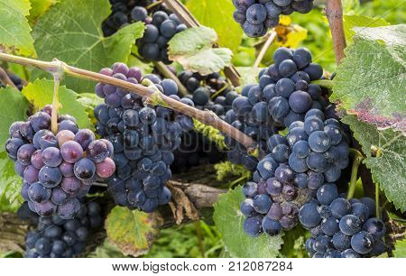 Blue pinot noir grapes with a little bit of rotting (pourriture) in the Champagne area in Champagne Ardenne France.