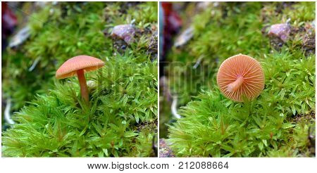 Laccaria laccata known as the deceiver or waxy laccaria