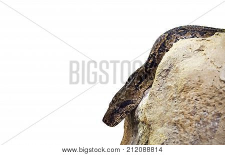 Closeup Boa Constrictor on The Rock Isolated on White Background Clipping Path