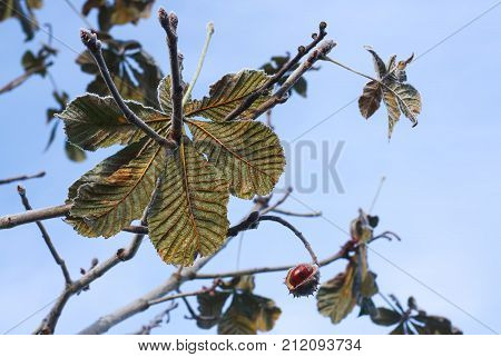 Horse-chestnuts or Aesculus hippocastanum on a tree in autumn park.