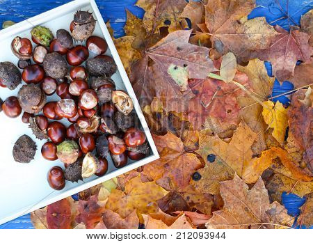Dry autumn leaves and horse-chestnuts or Aesculus hippocastanum in wooden tray.