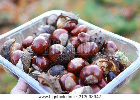 Horse-chestnuts or Aesculus hippocastanum in plastic box.