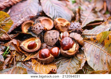 Horse-chestnuts or Aesculus hippocastanum on wet brown leaves in autumn park.