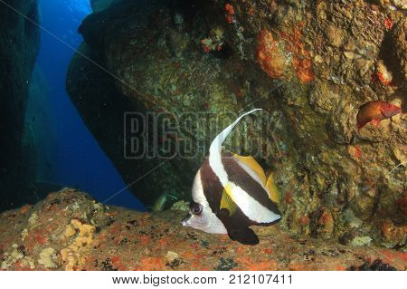 Underwater cave with fish and coral in Similan Islands, Thailand. Bannerfish
