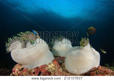 Sea Anemones. Coral reef with clownfish and anemone