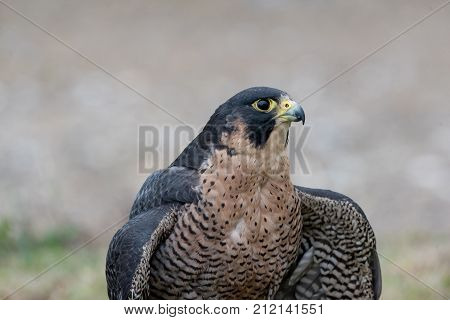 The peregrine falcon . Falco peregrinus also known as the peregrine and historically as the duck hawk in North America is a widespread bird of prey in the family Falconidae