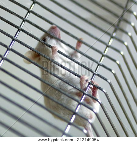 The Pink Legs Of The White Laboratory Mouse Clung Firmly To The Grate On The Cage.square Picture.sha