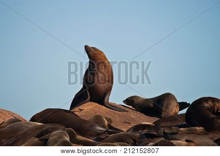 The male Cape fur seal at a rookery. Male pinnipeds on land. South Africa