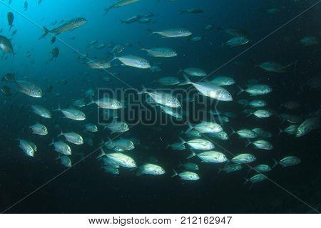 School of Bigeye Trevally fish