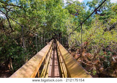 Wooden walk way cross over tree tops surrounded by rainforest. Myakka state park Florida.