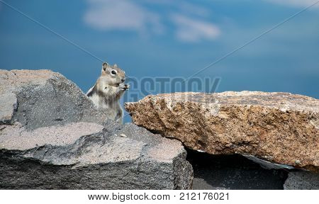 Golden-mantled Ground Squirrel - This Ground Squirrel was at the top of Mount Washburn at ten thousand feet