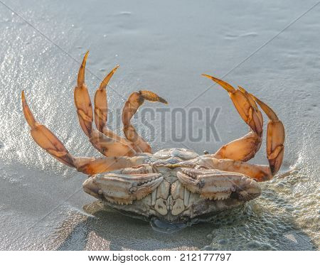 Overturned Crab On Beach