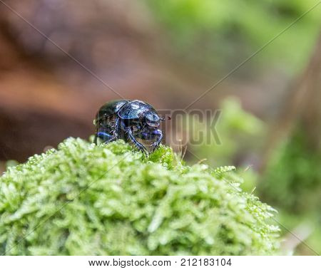 low angle shot of a iridescent blue dung beetle on mossy ground