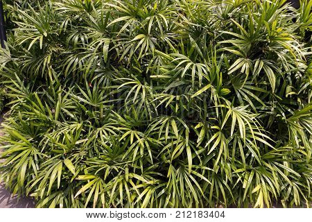 fresh green Rhapis excelsa plant in nature garden