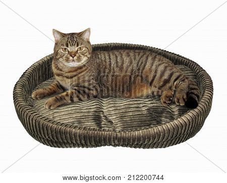 The big scottish straight cat is on a round bed. White background.
