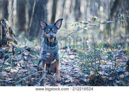 Dog a toy terrier a stylishly dressed little dog in a sweater against the backdrop of late autumn. Clothes for dogs.