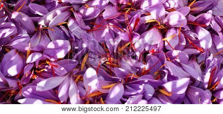 Close up of crocus flowers background at harvest time