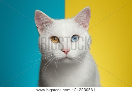Portrait of Pure White Cat with odd eyes Stare in Camera on bright Blue and Yellow Background, front view