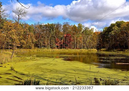 A pond surrounded by trees in the autumn coloring is partially covered with green algae and scum.