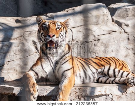 Young Siberian tiger otherwise known as the Amur Tiger