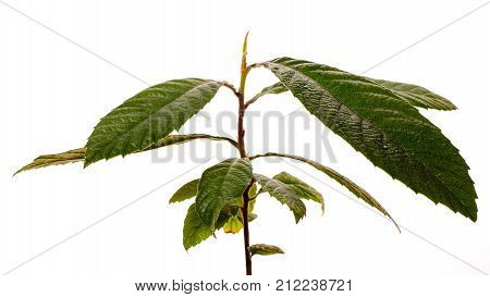 Loquat Medlar Tree Isolated On A White Background